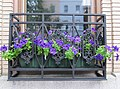 Perfectly Purple Petunias - panoramio.jpg