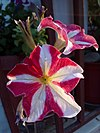 Petunia hybrida - πετούνια 01.jpg
