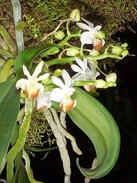 Phalaenopsis lobbii Orchi 026.jpg