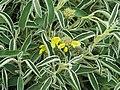 Phlomis angustifolia - Flickr - peganum (3).jpg
