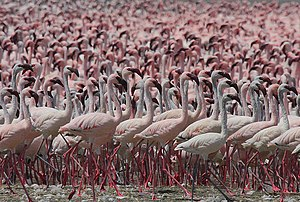 Lesser flamingo - Huge flock of lesser flamingos at Lake Bogoria, Kenya