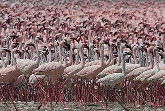 Lesser flamingo - Huge flock of lesser flamingos at Lake Bogoria, Kenya