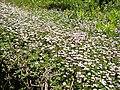 Phyla nodiflora 1 (Corse).JPG
