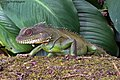 Physignathus cocincinus (Cuvier, 1829) Indo-chinese Water Dragon (16175403977).jpg