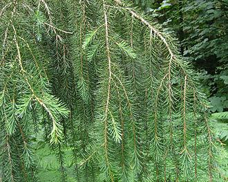 Picea breweriana - Image: Picea breweriana 2
