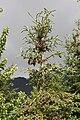 Picea glauca 8584.JPG