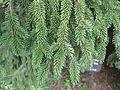 Picea glehnii4.JPG