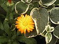 Pichilemu - Jardines de Pichilemu (2194796939).jpg