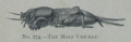 Picture Natural History - No 274 - The Mole Cricket.png