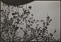 Picture of budding branches by Alfred von Berlepsch, friend of Akseli and Mary Gallen-Kallela, during his visit to Paris in April, 1909 (34640555560).jpg