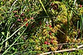 Pidrichchia Kamin-Kashyrskyi Volynska-Mochuryne lake nature reserve-Vaccinium vitis-idaea.jpg
