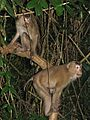Pig-tailed macaques (8071505966).jpg