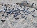 Pigeons feeding.jpg