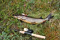 Pike fishing in Finland.JPG