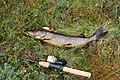 Pike fishing in Finland.JPG