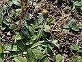 Pilosella officinarum 2021-09-08 1446.jpg