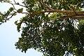 Pimenta racemosa 22zz.jpg