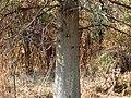 Pin Oak (30302599364).jpg