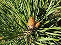 Pinales - Pinus jeffreyi - 3.jpg
