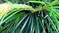 Pine Tubes 1 (228411903).jpeg