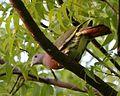 Pink-necked Green-Pigeon (Treron vernans) male - Flickr - Lip Kee (5).jpg