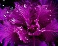 Pink Lettuce (6768715665).jpg