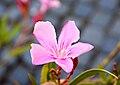 Pink flower of Nerium oleander.jpg