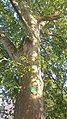 Pinkafeld Platane HTL 06.jpg