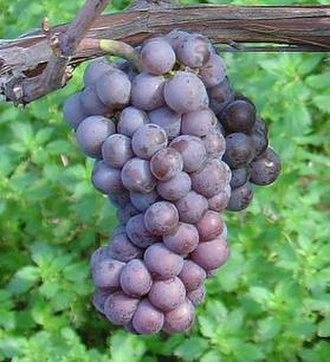Pinot gris - A bunch of Pinot gris grapes.