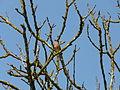 Pinson des arbres Montagnac-sur-Auvignon.JPG
