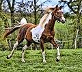 Pinto Arabian.jpg