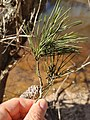 Pinus glabra, Tallahassee, Florida 3.jpg