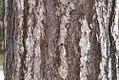 Pinus nigra nigra 0zz.jpg