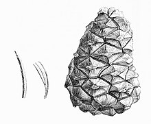 Pinus orizabensis illustration.jpg