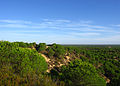 Pinus pinea forest Doñana.jpg