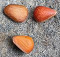 Pinus pumila seeds.JPG