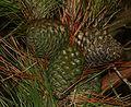 Pinus radiata (Monterey Pine) - unripe cones - Flickr - S. Rae.jpg