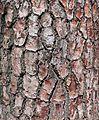 Pinus radiata in Santander.jpg