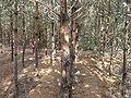 Pinus sylvestris prune beentree.jpg