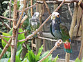 Pionus senilis -Macaw Mountain Bird Park, Honduras-8a.jpg