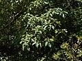 Pittosporum wightii (17286502702).jpg