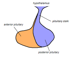 Pituitary Stalk.png