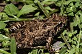 Plains Froglet (Crinia parinsignifera) (8612415259).jpg