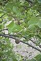 Platanus occidentalis- 3460.jpg