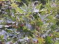 Platanus orientalis fruits, Thasos.jpg