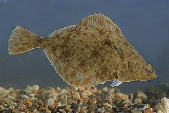 European flounder - Image: Platichthys flesus Vääna Jõesuu in Estonia