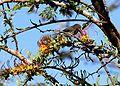Plicosepalus sagittifolius Makueni County 2.jpg