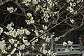 Plum blossoms (white).JPG