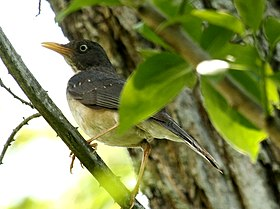 Plumbeous-backedThrush.jpg