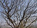 Plumeria rubra (4400638568).jpg